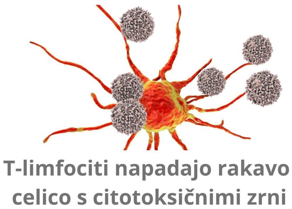 T-limfociti napadajo rakavo celico s citotoksičnimi zrni