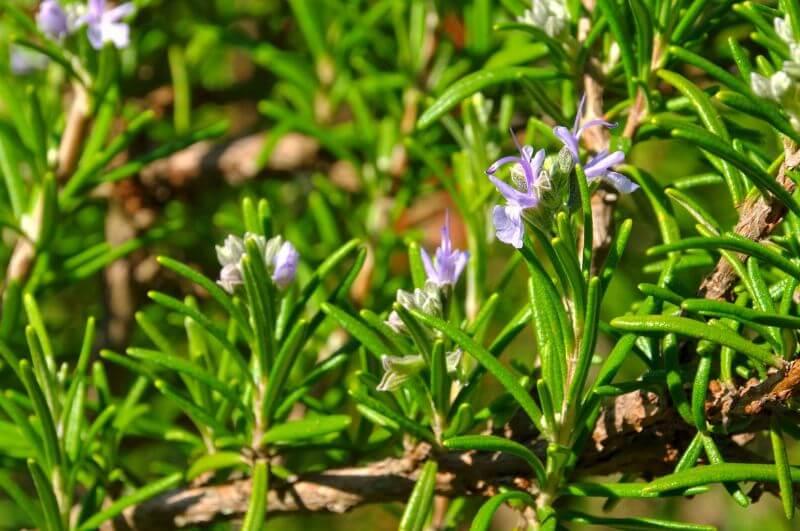 rožmarin cveti modro ali belo - krepi telo